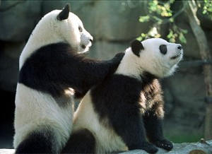 Two rare giant pandas, Yang Yang (L) and Lun Lun p