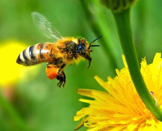Для пчел секс не такое уж приятное занятие