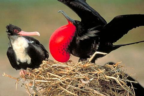 Птица Фрегат брачные игры