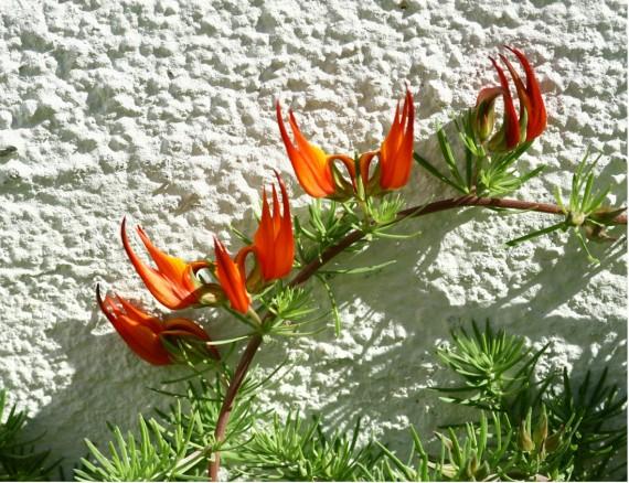 цветок Клюв Попугая
