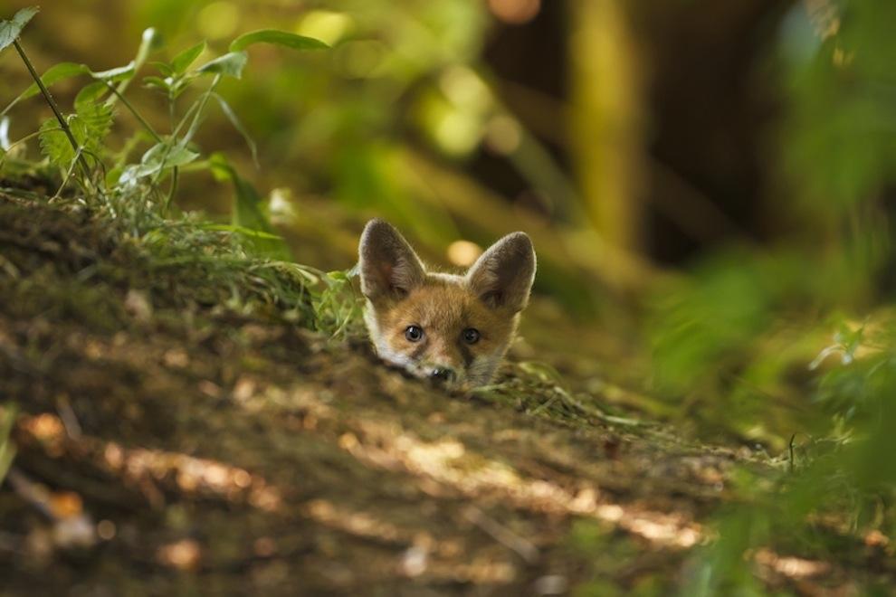 Захватывающие фотографии диких животных Британии 16