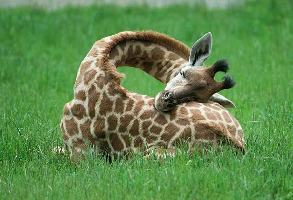 Как спит маленький жираф?