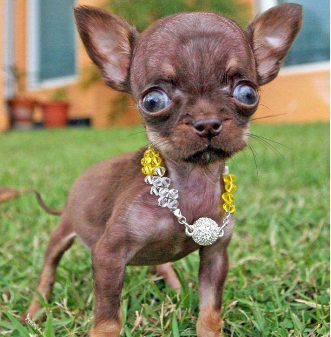 Милли самая маленькая собака в мире