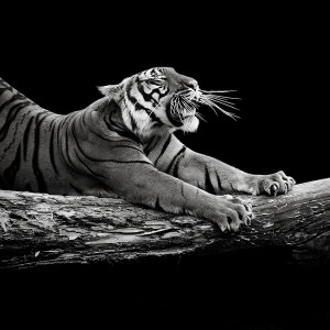 Черно-белые портреты животных Лукаса Холаса