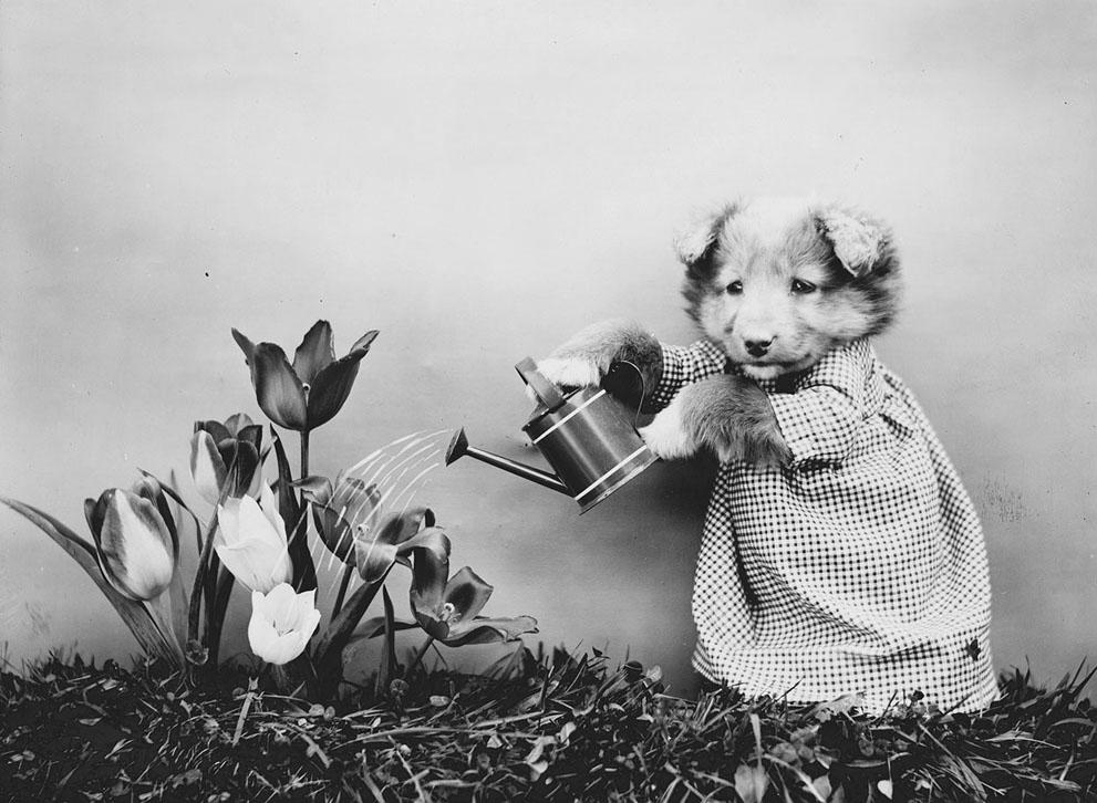 Кошки и собаки, одетые как люди, 100 лет назад9