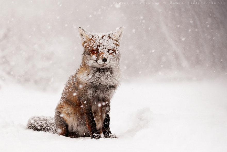 Потрясающие фотографии Диких лис от Roeselien Raimond 2
