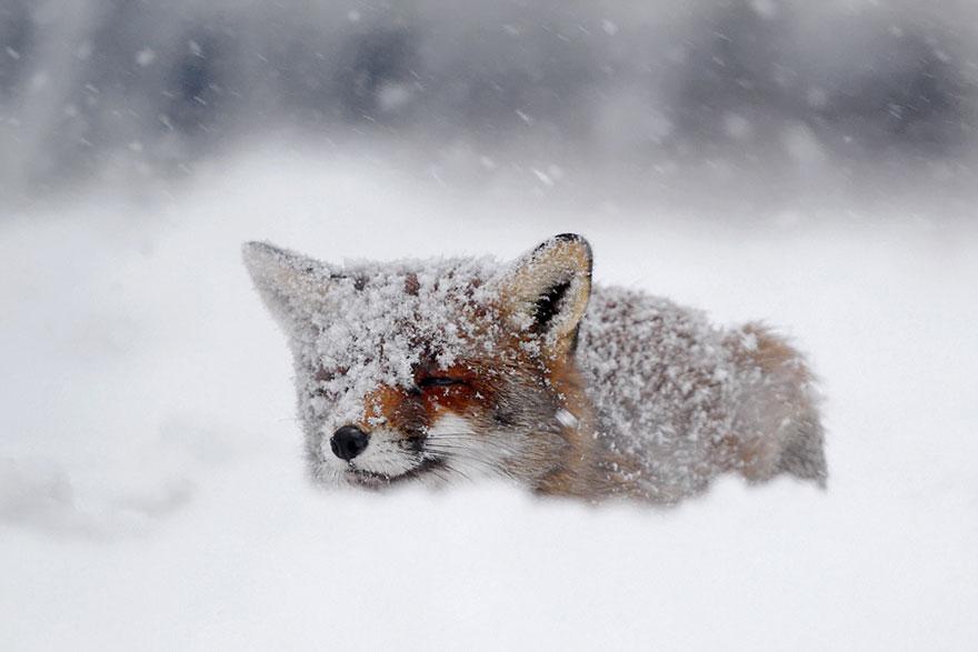 Потрясающие фотографии Диких лис от Roeselien Raimond 6