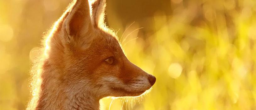 Потрясающие фотографии диких лис от Roeselien Raimond