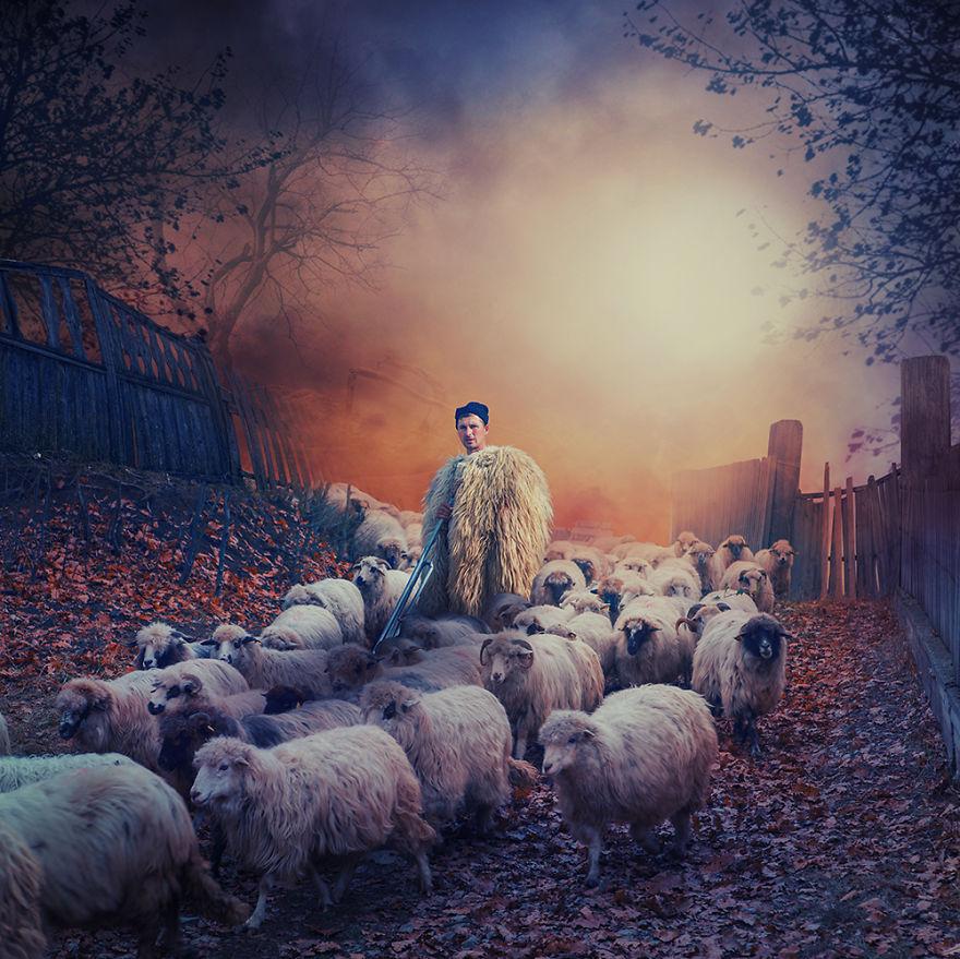 Перегоняя овец