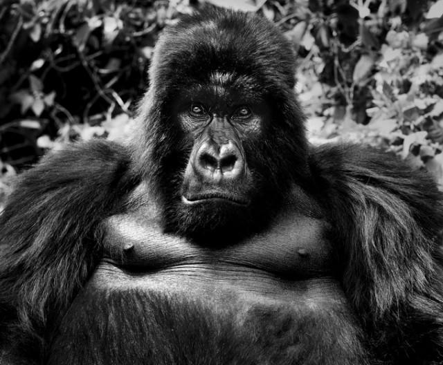 Черные и белые фотографии диких животных Дэвида Ярроу  1