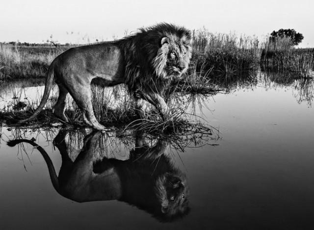 Черные и белые фотографии диких животных Дэвида Ярроу  11