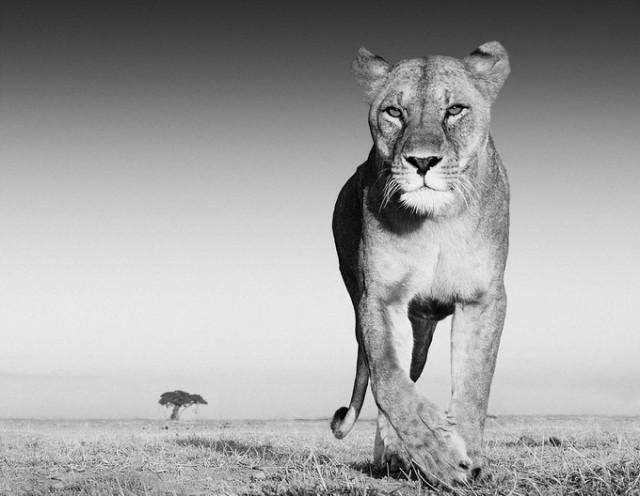 Черные и белые фотографии диких животных Дэвида Ярроу  13