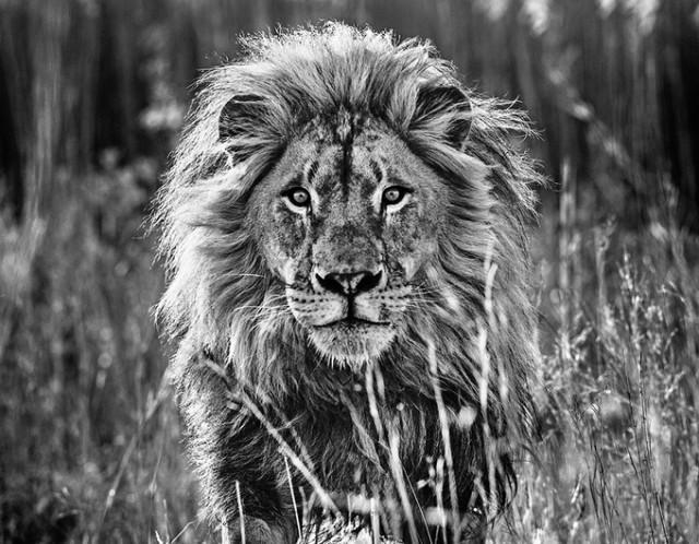 Черные и белые фотографии диких животных Дэвида Ярроу  14