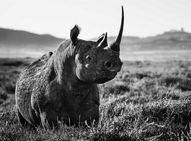 Черные и белые фотографии диких животных Дэвида Ярроу  15