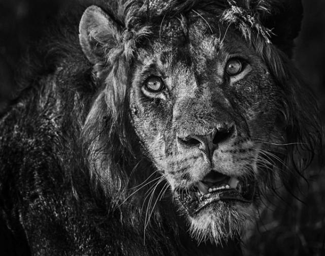 Черные и белые фотографии диких животных Дэвида Ярроу  16
