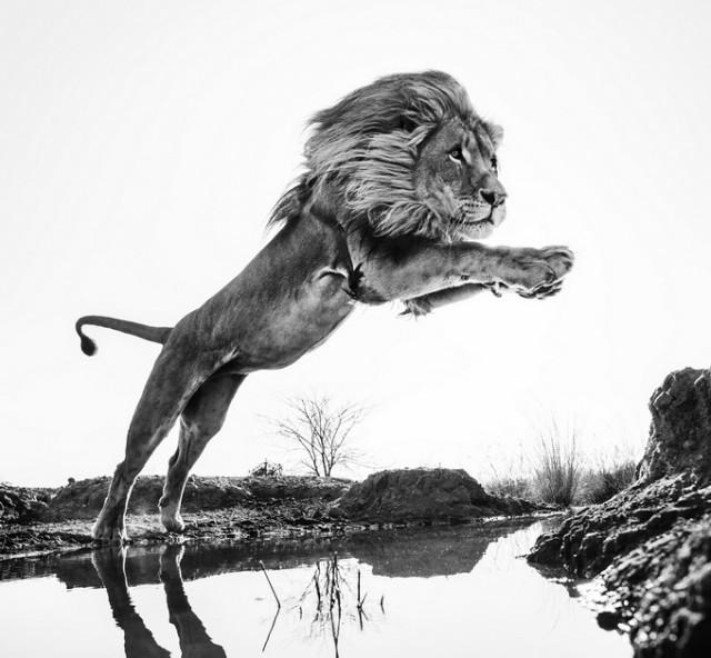 Черные и белые фотографии диких животных Дэвида Ярроу  2