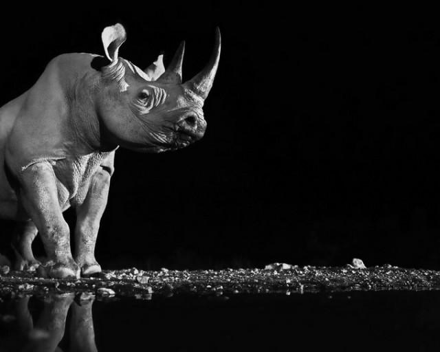 Черные и белые фотографии диких животных Дэвида Ярроу  4