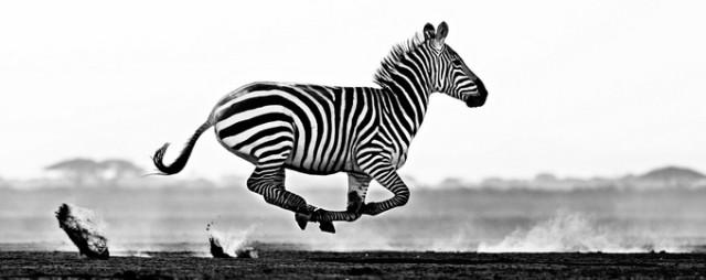 Черные и белые фотографии диких животных Дэвида Ярроу  6