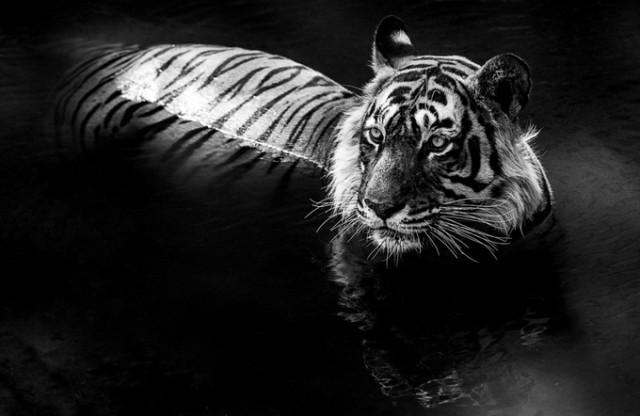 Черные и белые фотографии диких животных Дэвида Ярроу  7