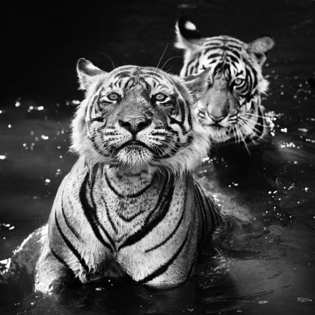 Черные и белые фотографии диких животных Дэвида Ярроу  8