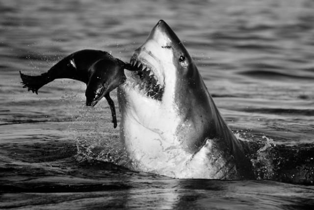 Черные и белые фотографии диких животных Дэвида Ярроу  9