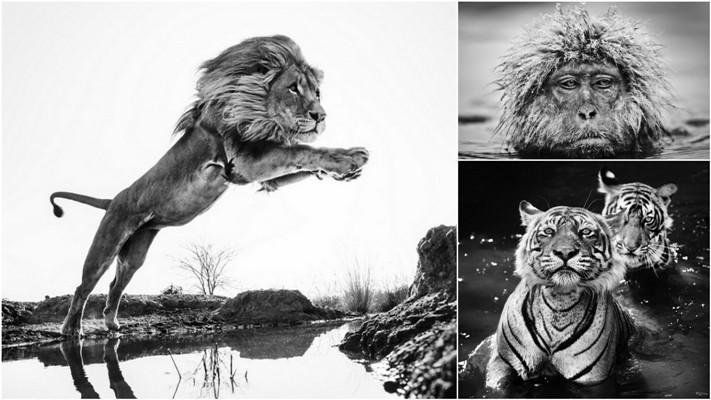 Черные и белые фотографии диких животных Дэвида Ярроу