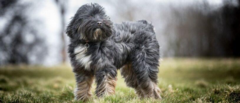 Тибетский терьер – собака, нуждающаяся в людях